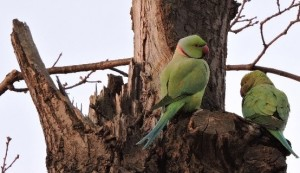 2parakeets_s